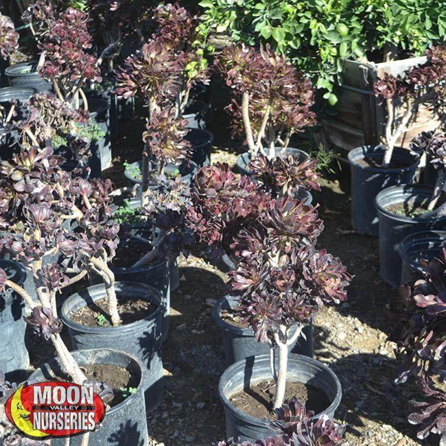 Aeonium Purple Queen With Images