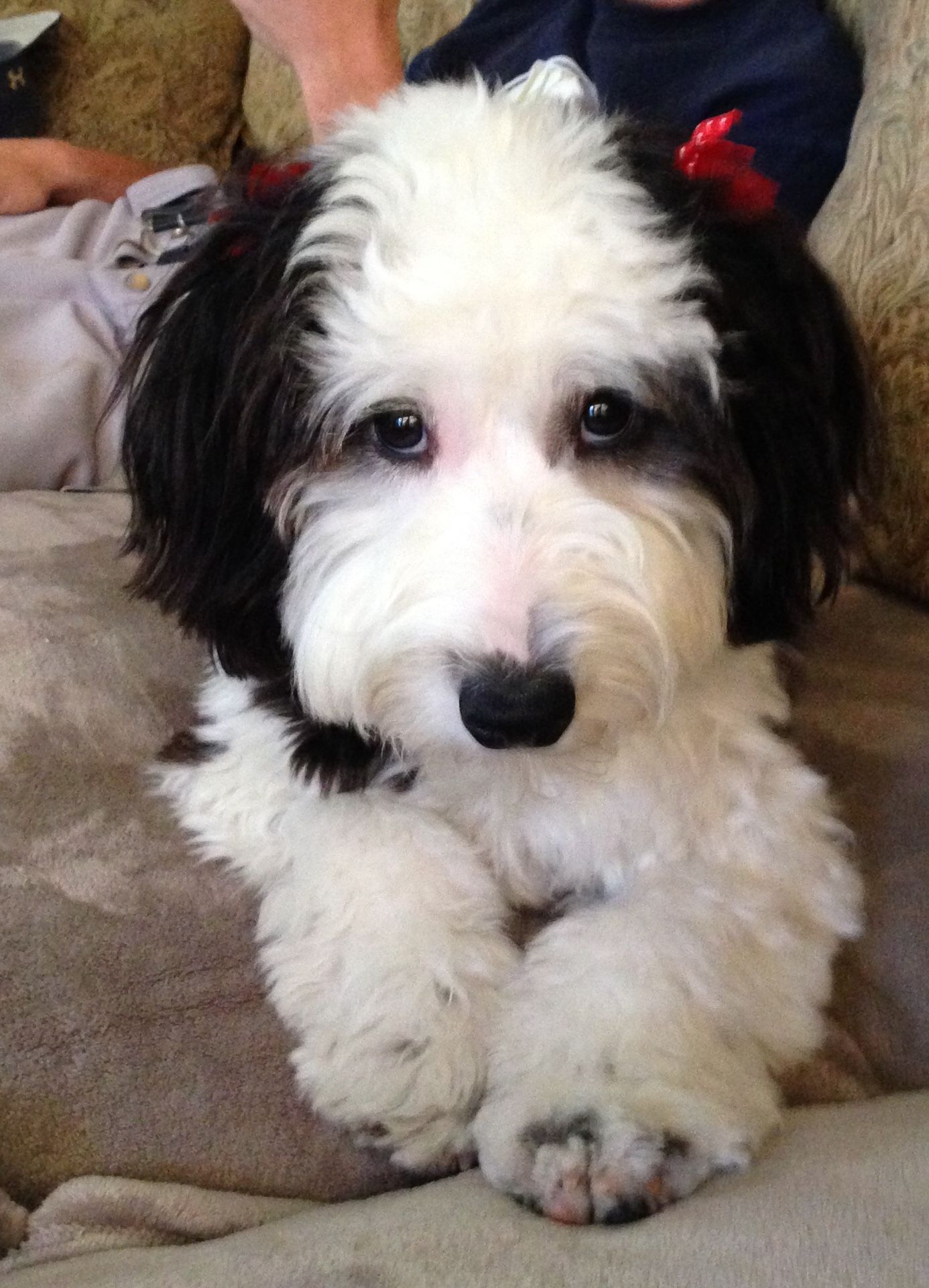 Mini Sheepadoodle Cute Dogs Sheepadoodle Puppies