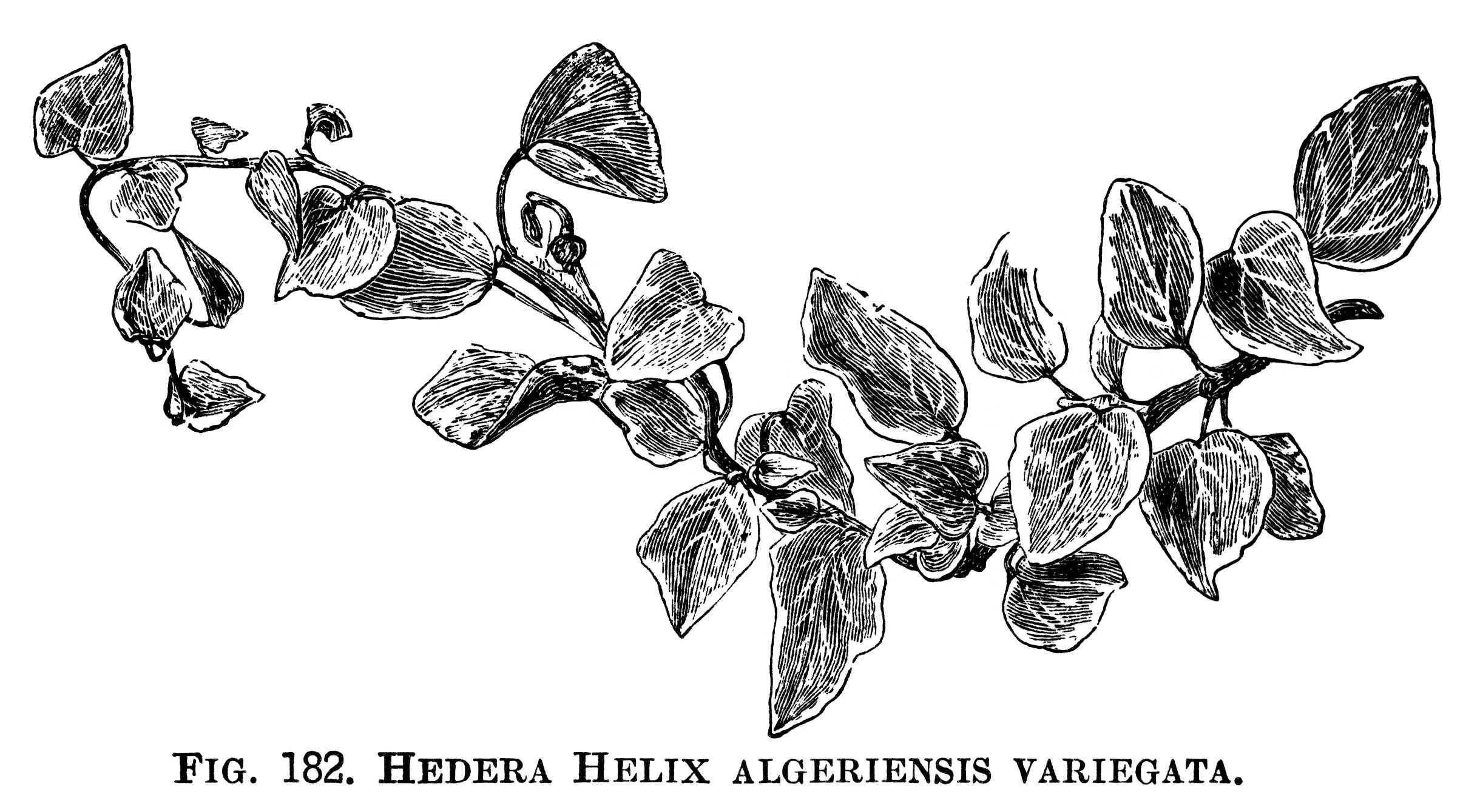 Hedera Helix Ivy Clip Art Botanical Engraving Black And