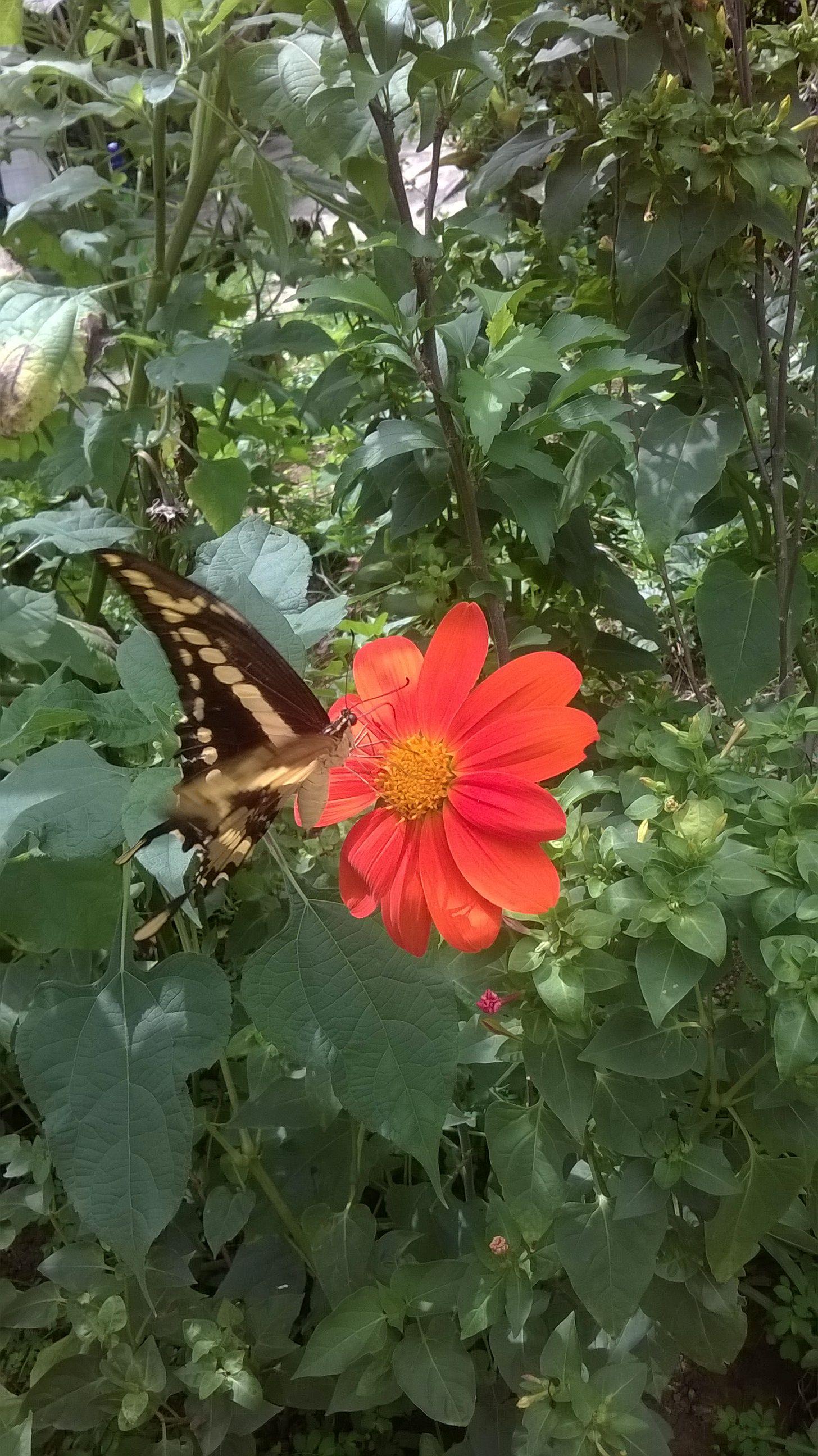 O girassol e outra borboleta..
