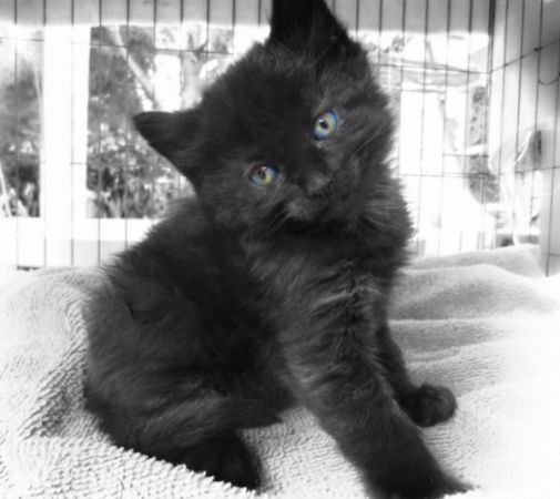 Black And White Kitten With Blue Eyes Viewing Gallerypussyfunny