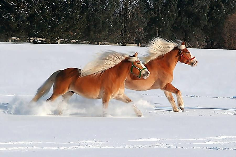 Two magnificent free Haflinger gallop in the snow - The Haflinger, also known as the Avelignese, is a breed of horse developed in Austria and northern Italy during the late 19th century.