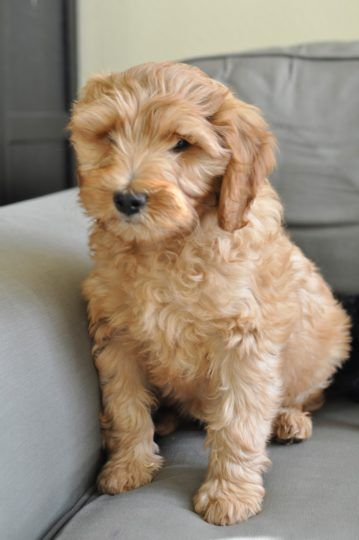 The 14 Different Colors Of The Australian Labradoodle Australian