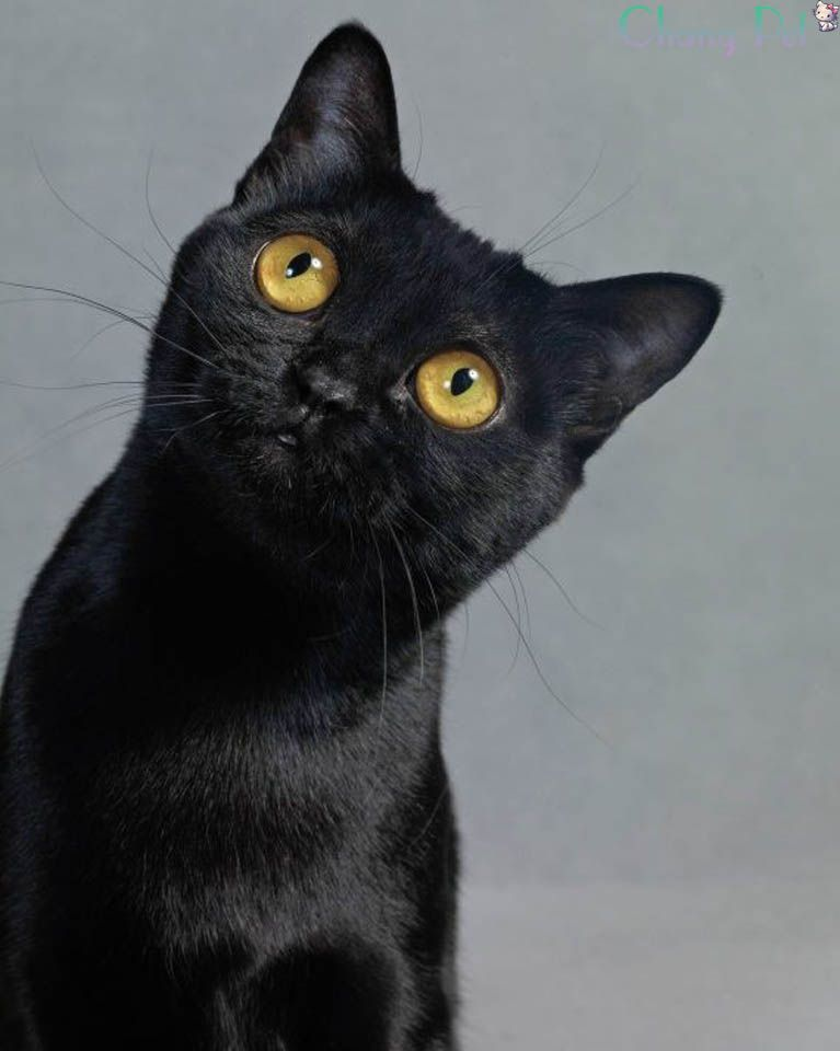 Bombay 10 In 2020 Cat Breeds Burmese Cat Cats And Kittens