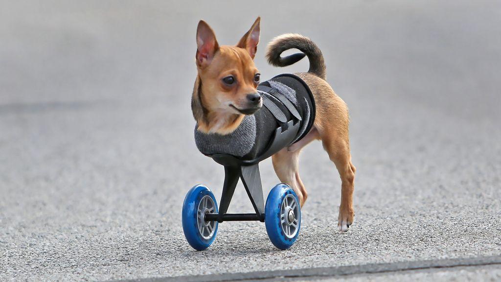 El Chihuahua Que Camina Gracias A La Impresion 3d Inspira Un Portal De Carritos Para Perros Discapacitados Impresoras 3d Articulos Para Perros Silla De Ruedas Para Perro Cachorros