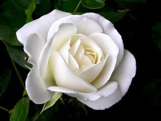 Pin by pranita baruah on flowers pinterest flowers white rose flower meaningwhite rose flower white rose symbolic white flowers white rose meaning without vibrant color to upstage it mightylinksfo