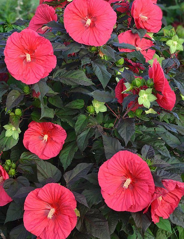 Plant Detail – Willoway Nurseries, Inc. |Mars Madness Hibiscus