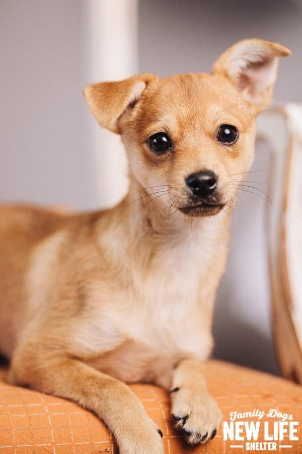 Adopt Arlo On Petfinder Baby Animals Shiba Inu Chihuahua