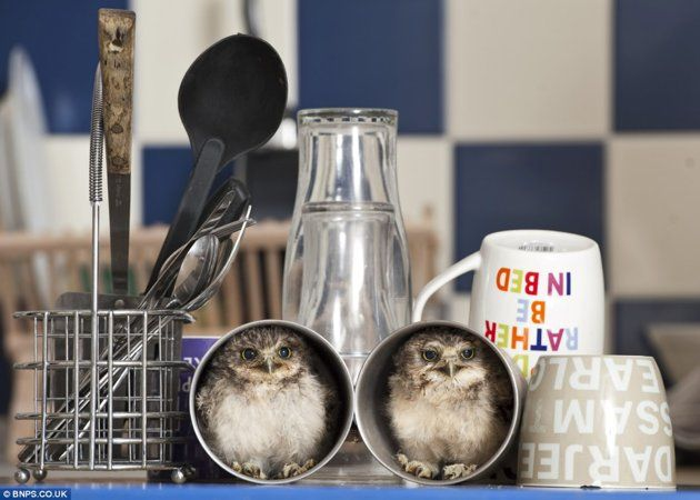 Hatched in an incubator, orphaned burrowing owls Linford and Christie currently reside in the home of Jimmy Robinson, a wildlife park keeper at Longleat Safari Park in Wiltshire, England.