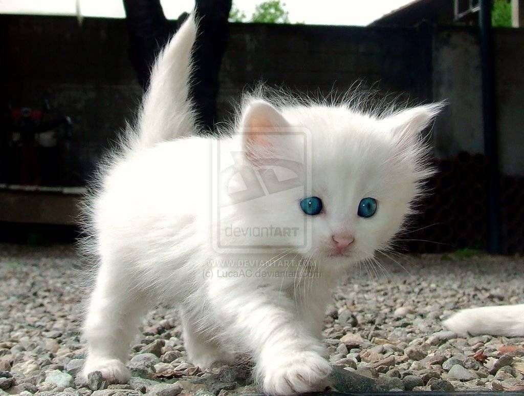 Grey Blue Eyed Kitten wallpaper Animal Wallpapers Pinterest