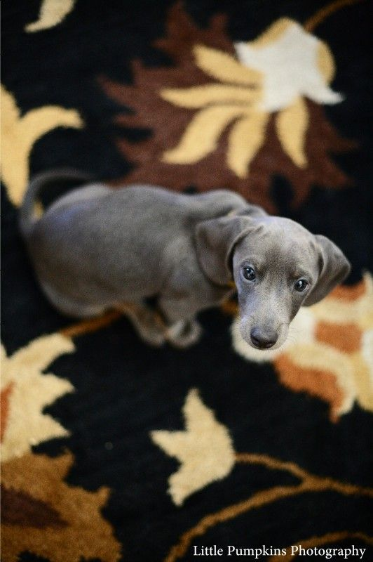 Slinky The Dachshund Puppy Portraits Ventura County Photographer