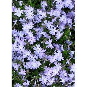 "Phlox subulata ""Blue Eyes"""