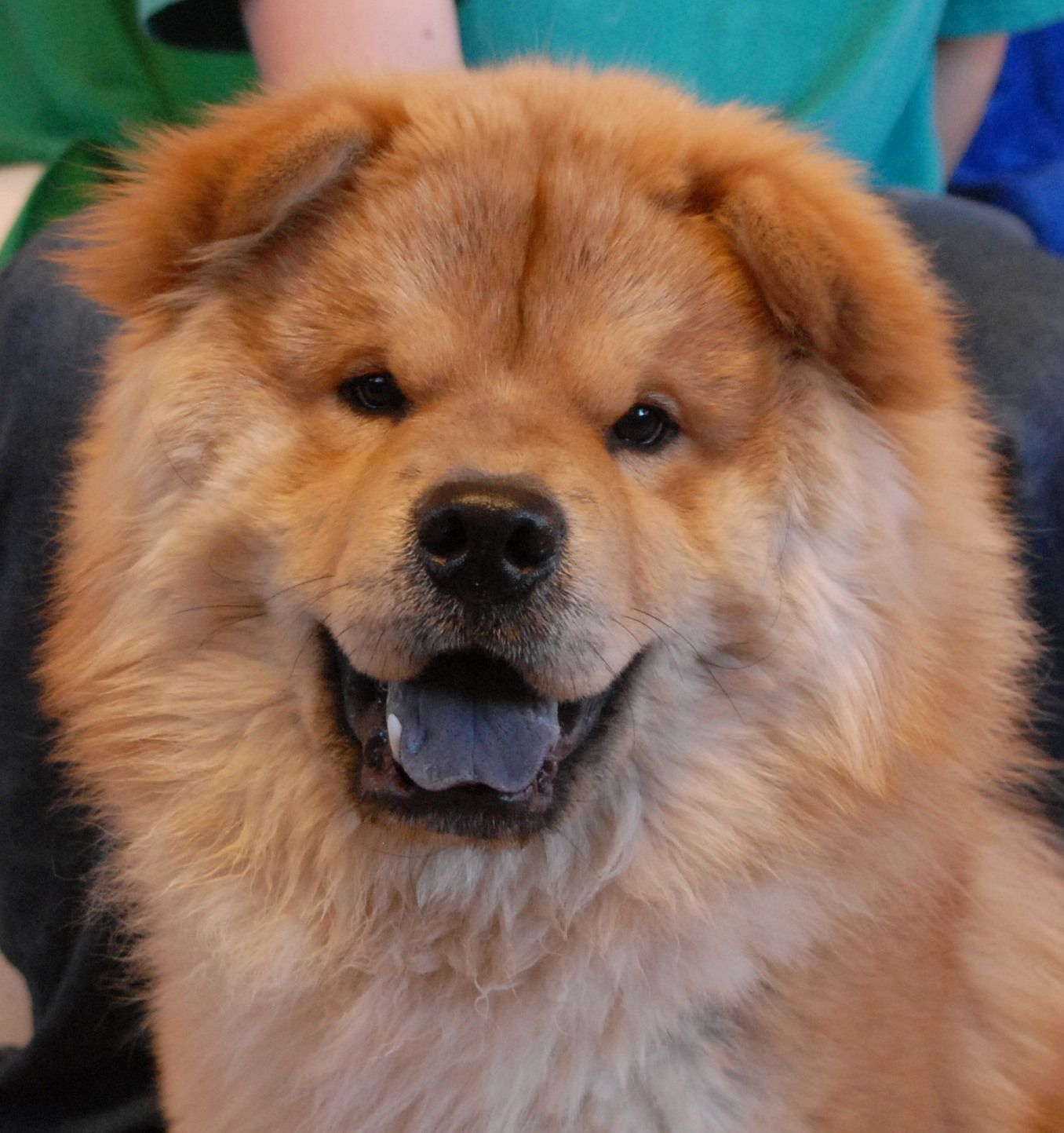 Beamer Is A Radiant Junior Puppy A Chow Chow Debuting For