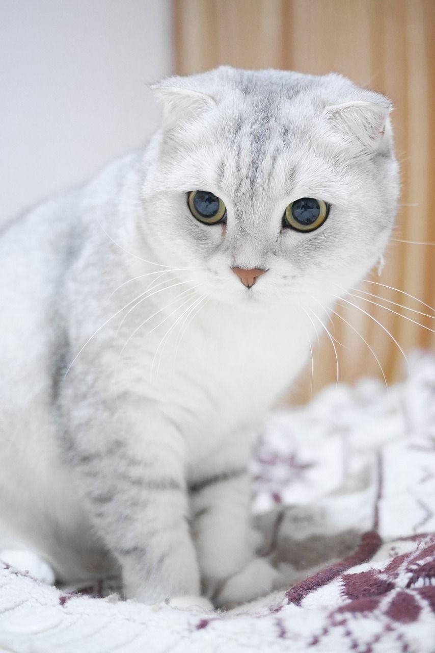 Die Scottish Fold Katze hat umgeklappte Ohren in 2020 ...