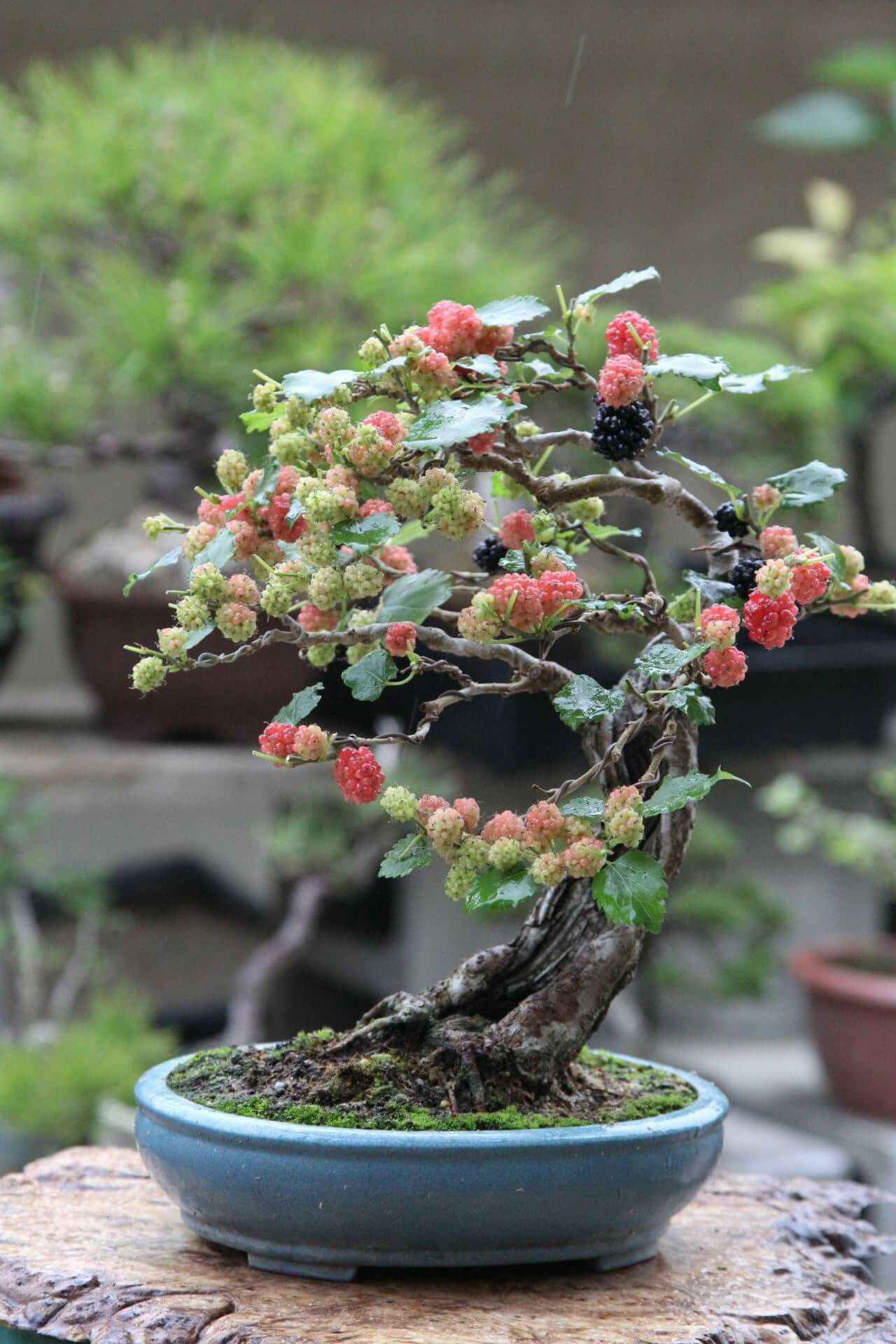 Blackberry bonsai to baby trees pinterest bonsai for Bonsai pflanzen