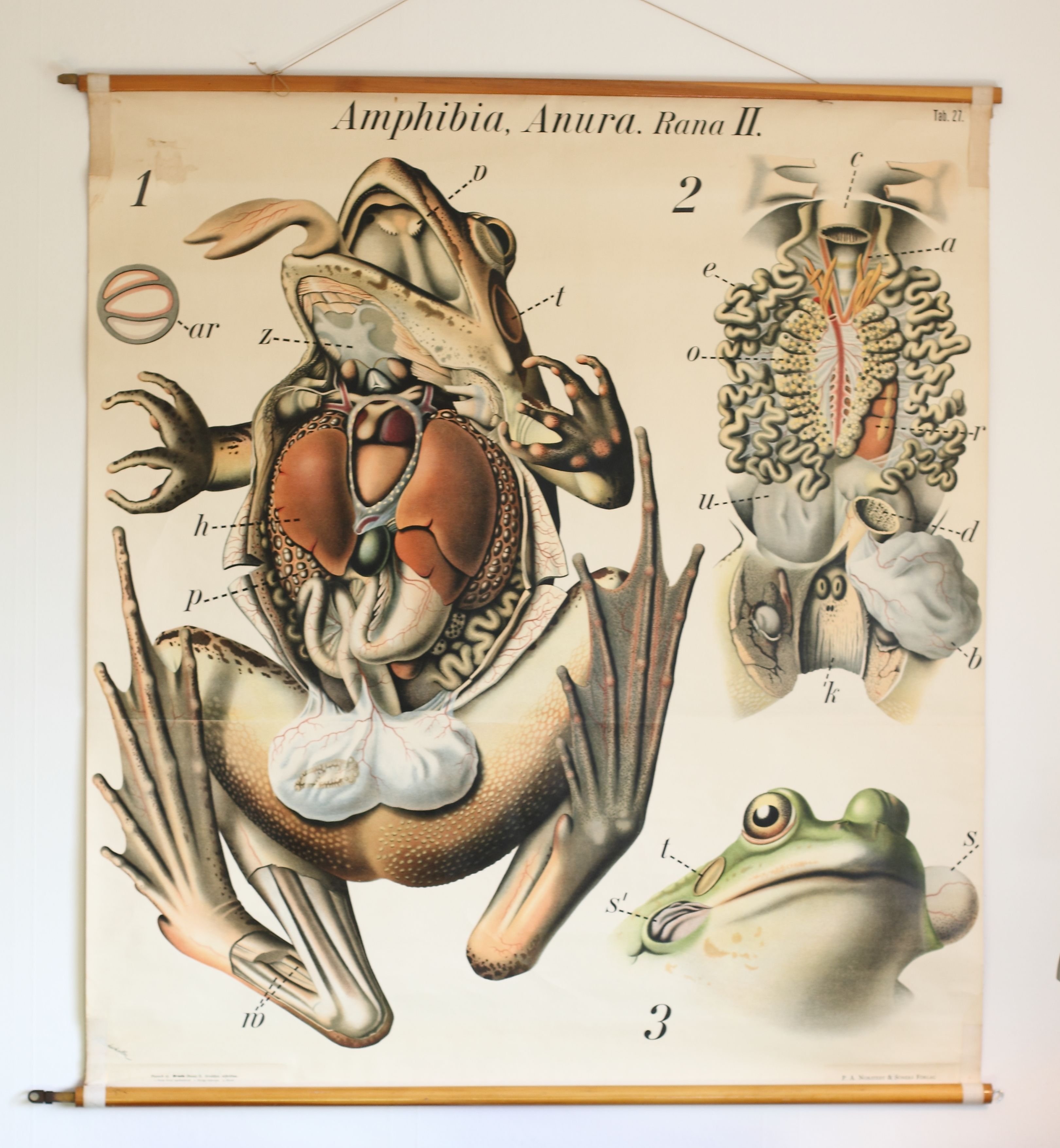 school poster, Anatomy of a Rana, no.27, Pfurtscheller\'s Zoological ...
