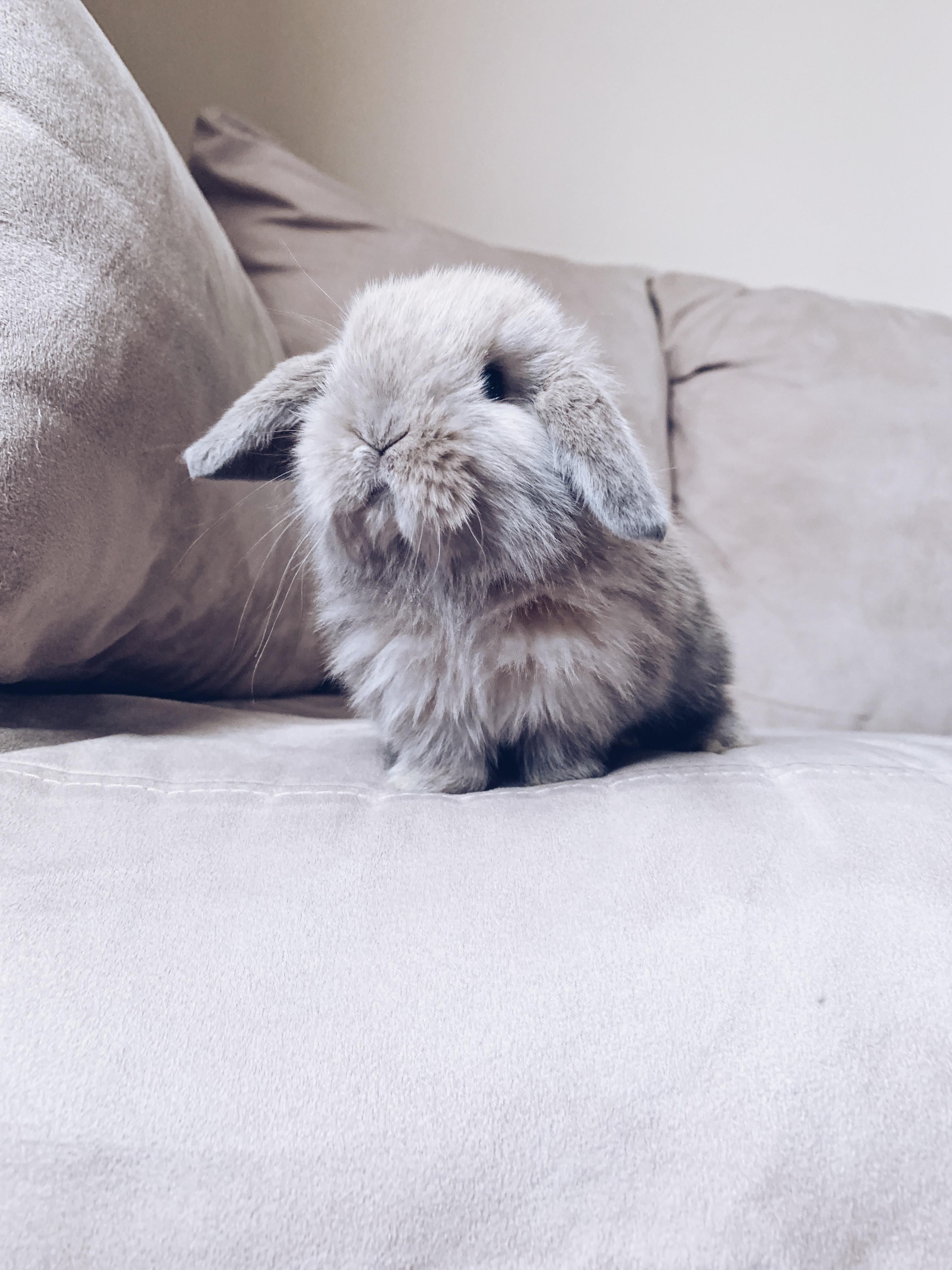 The House Rabbit Guide Cute Animals Cute Hamsters Mini Lop Bunnies