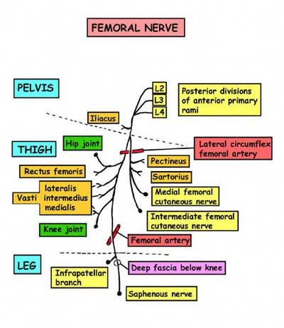 physiocheats Femoral nerve Anatomy, physiology textbook