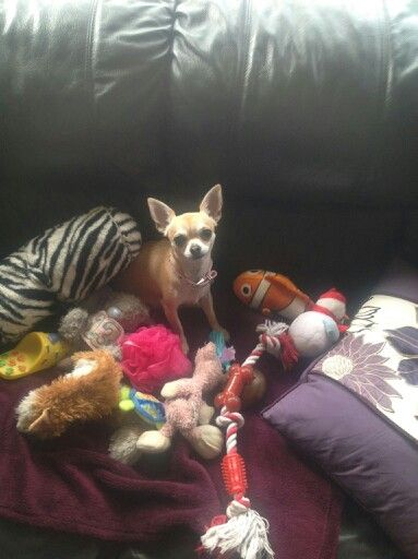 My Lulu with a selection of her favourite toys #chihuahua #short haired