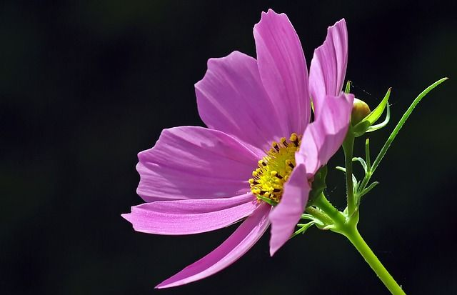 Free Image On Pixabay Cosmea Blossom Bloom Cosmos Drought Tolerant Plants Cosmos Flowers Flower Meanings