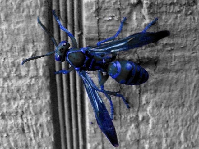 Types Of Wasps Black Wasp Sphex Pensylvanicus Tarantula Wasp Wasp Insect Wasp