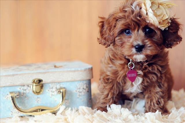 WA Cavapoo puppies, Cavapoo puppies for