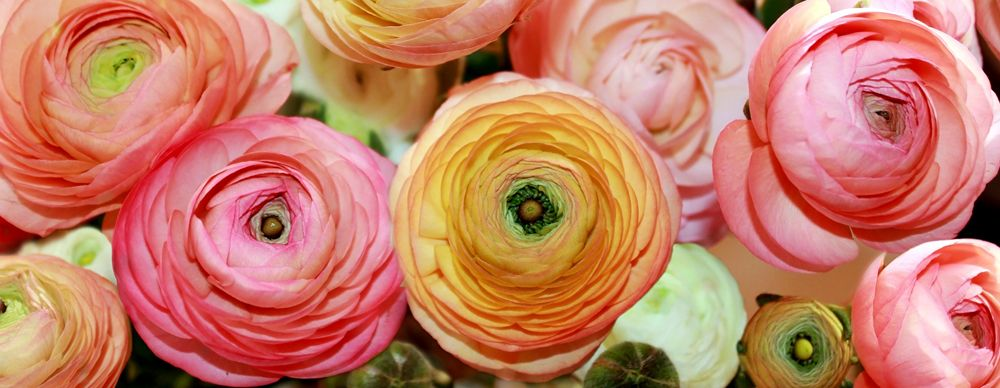 How To Care For Ranunculus Early Spring Flowers Peach Ranunculus Ranunculus