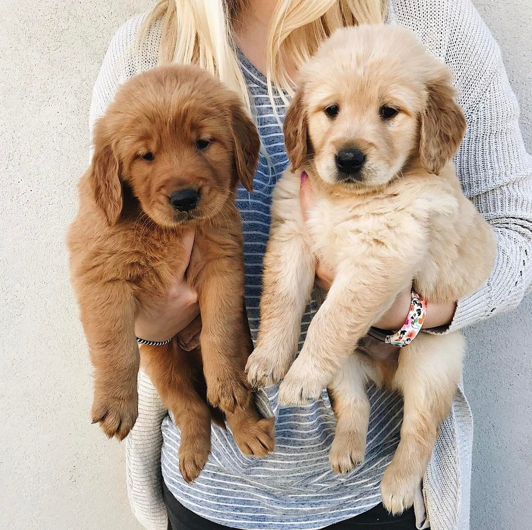 Two Shades Of Golden Retriever Puppies Animals Cute Dogs Dogs