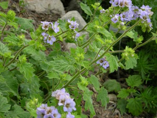 Image Phacelia Bolanderi 11 Jpg California Natives Wiki Nativity California Plants