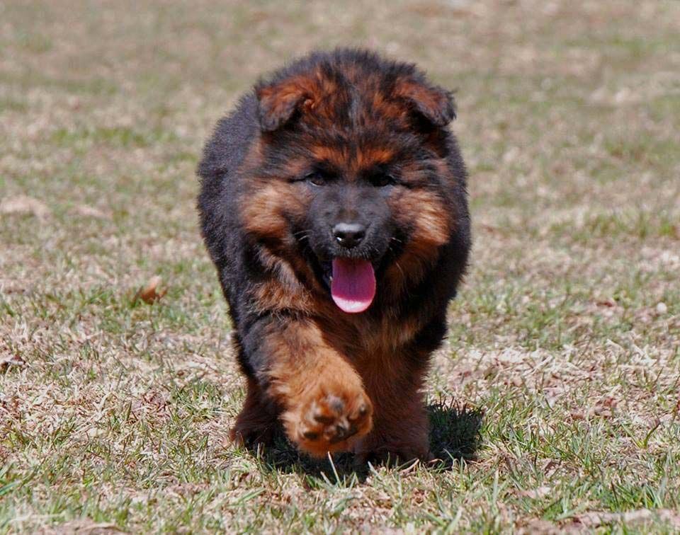 Pictures Of German Shepherd Puppies At 8 Weeks Old References
