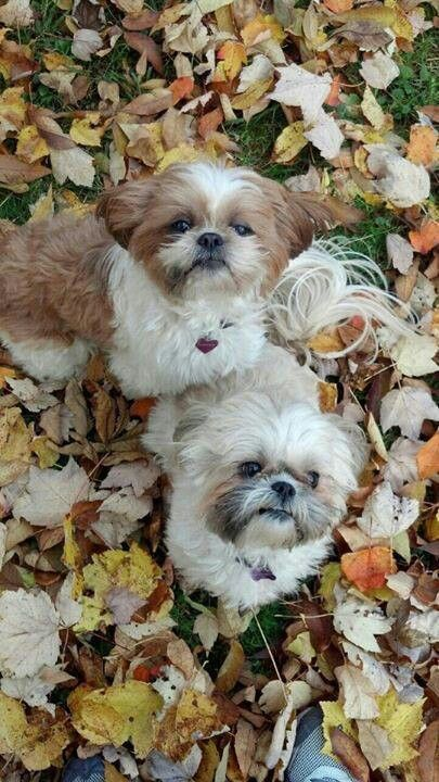 Playing In The Fall Leaves Shih Tzus Are The Most Wonderful Pets