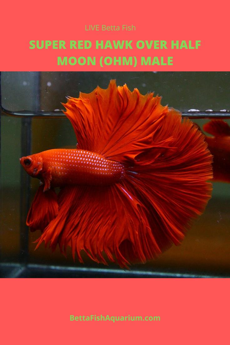 Live Betta Fish Super Red Hawk Over Half Moon Ohm Male Betta Fish Betta Betta Fish Types