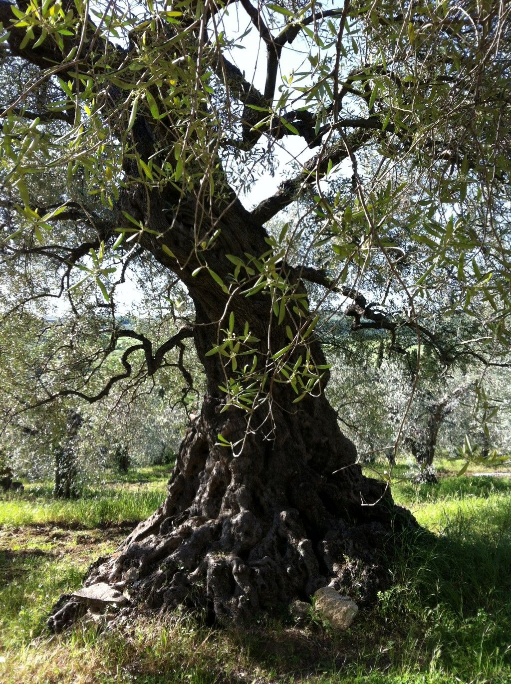 How To Prune Olive Trees Pruning Olive Trees Olive Tree Tree