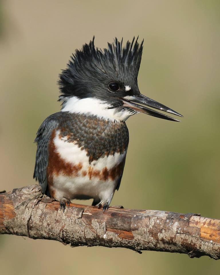 Juvi female Belted Kingfisher Palouse River, Idaho USA