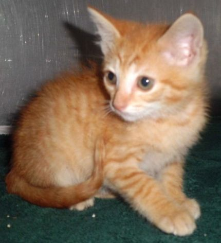 Opt To Adopt A Little Orange Juice Will Make Your Day Complete Liberty Sc Cat Adoption Dog Adoption Humane Society
