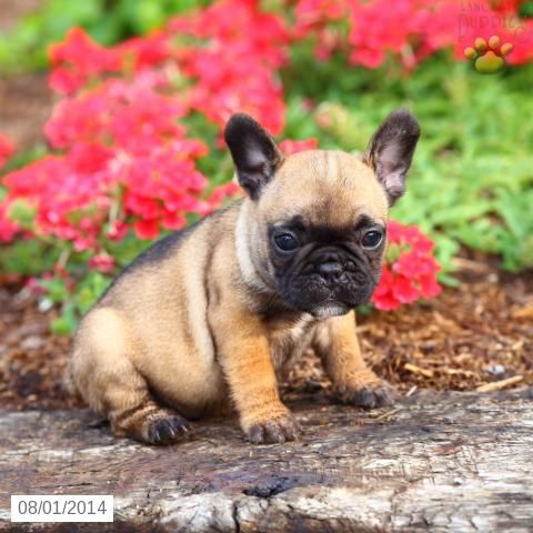 Lucy French Bulldog Puppy for Sale in Lancaster, PA