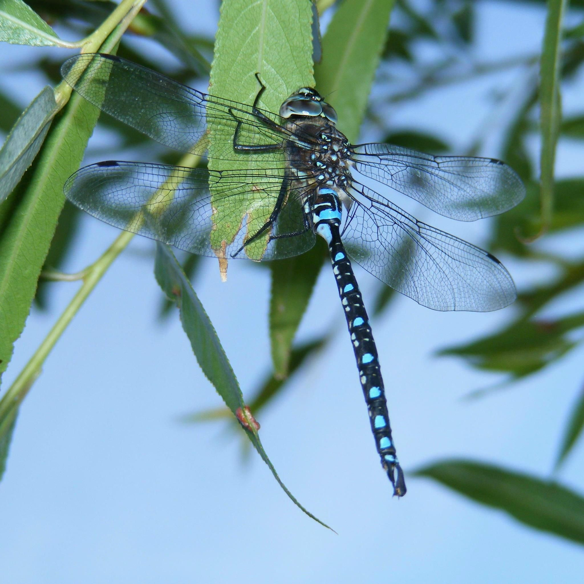 Awesome blue dragonfly on the willow tree