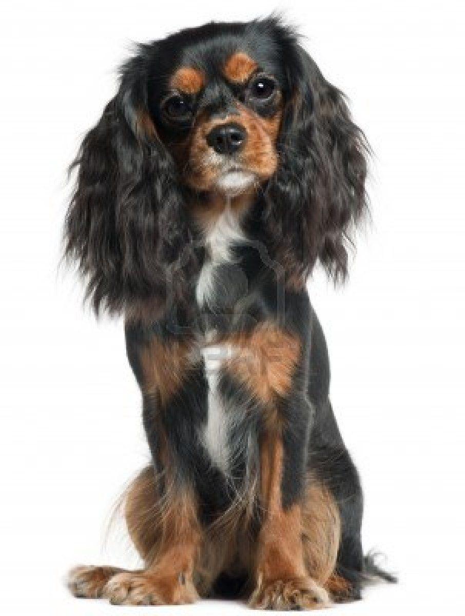 King Charles Spaniel Puppy Black Black tan cava Wiki Info