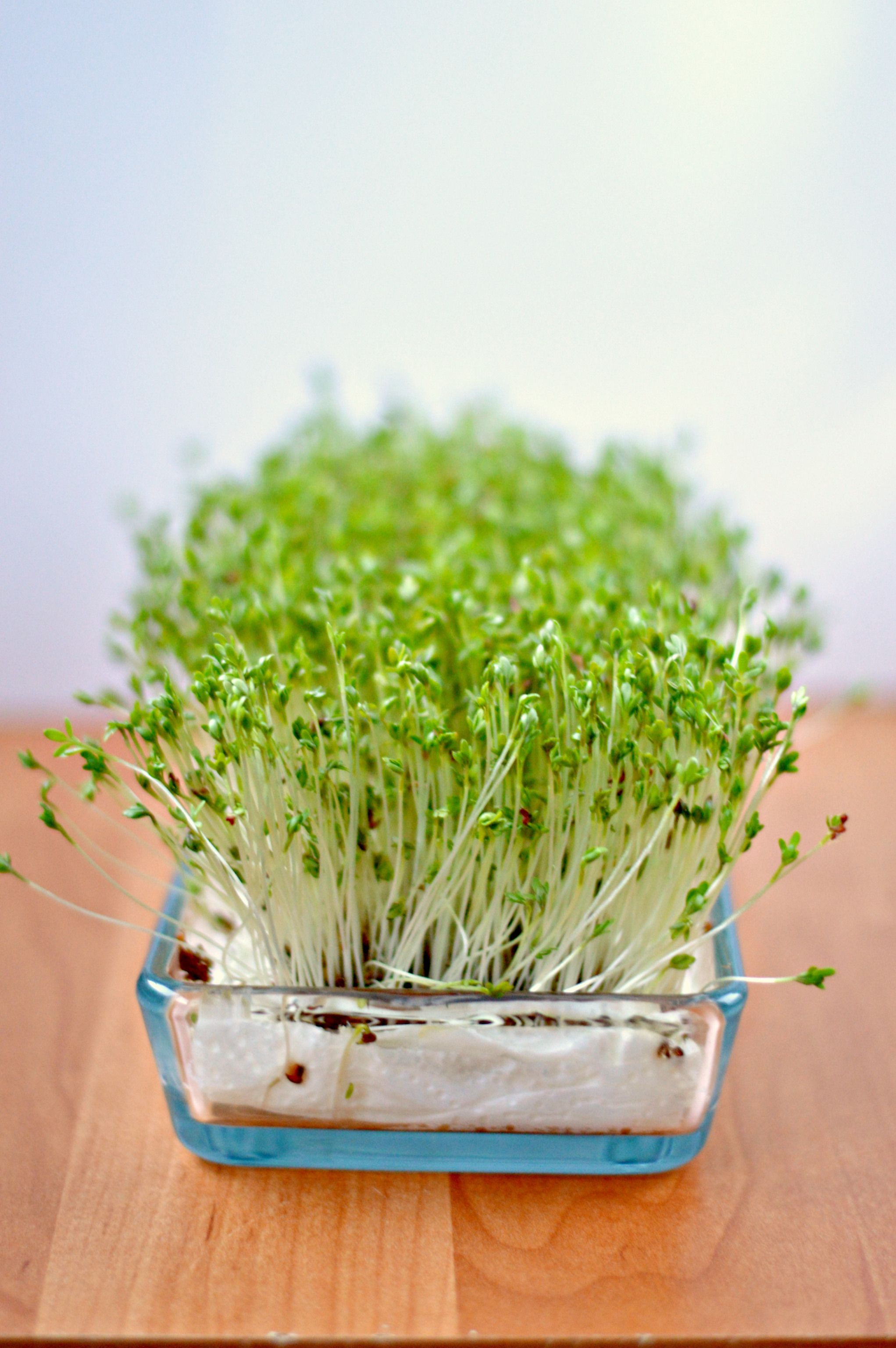 how to grow oats indoors