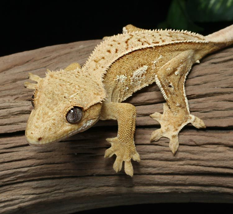 Female creamsicle Crested Gecko for sale | -geko | Ptaki