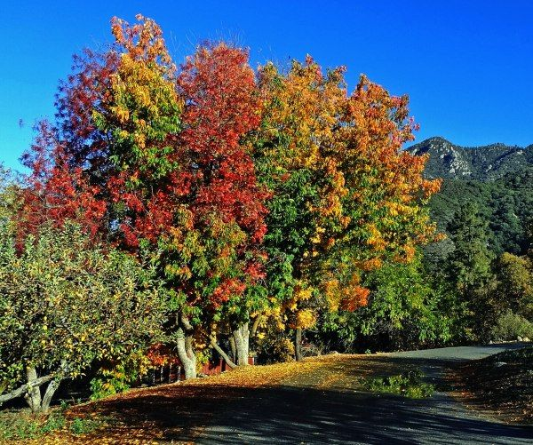 Get Your Fall Fix 10 Best Places To See Autumn Leaves In Southern California With Images Fall Foliage Day Trips California Towns