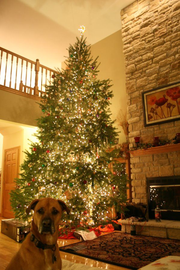 Giant Christmas Tree And A Dog Christmas Trees In House White House Christmas Tree Christmas Tree