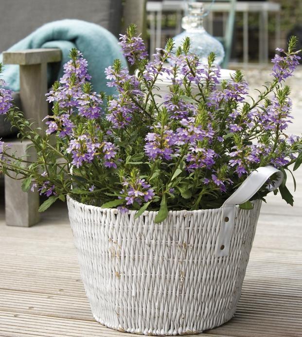 Rosliny Balkonowe W Doniczkach I Nie Tylko Zdjecia Kwiatow Na Balkony I Tarasy Wymarzonyogrod Pl Plants Flowers Balcony