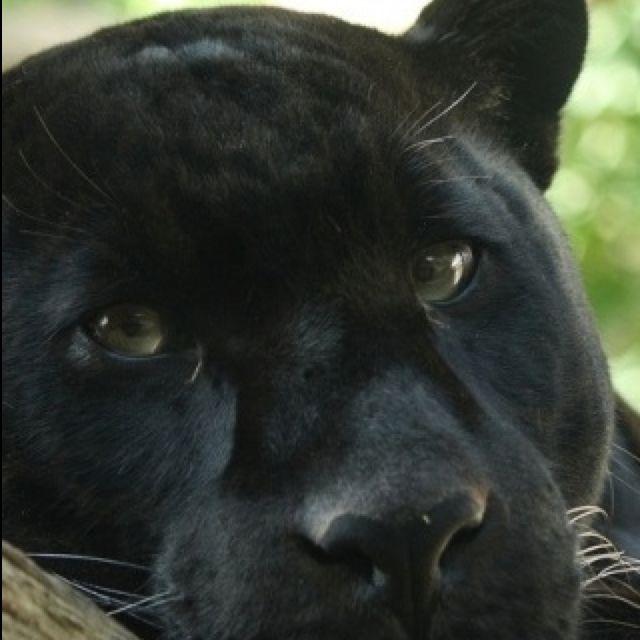 картинки с пантерами грустные самом деле