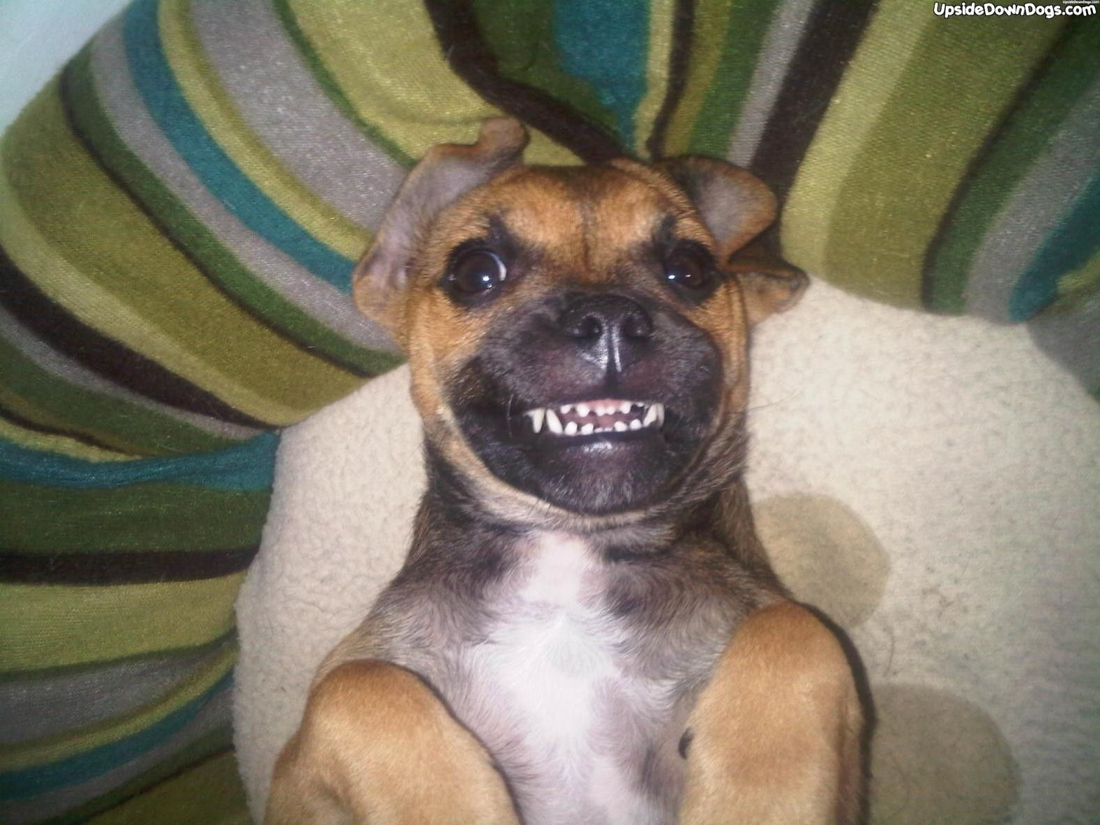 Australian Cattle Dog Pug Mix Cattle Dog