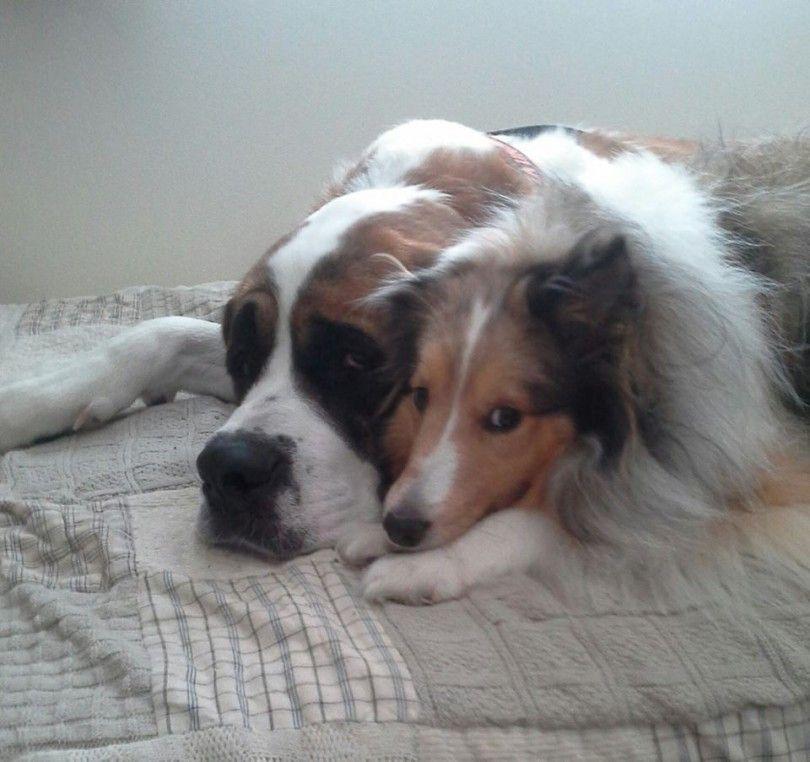 Bernie Is 1 2 Of A Tandem Service Dog Team He Is A Companion And Friend To Both Me And My Signal Dog Killa Bern Has Dog Photo Contest Dog Photos Dog Adoption