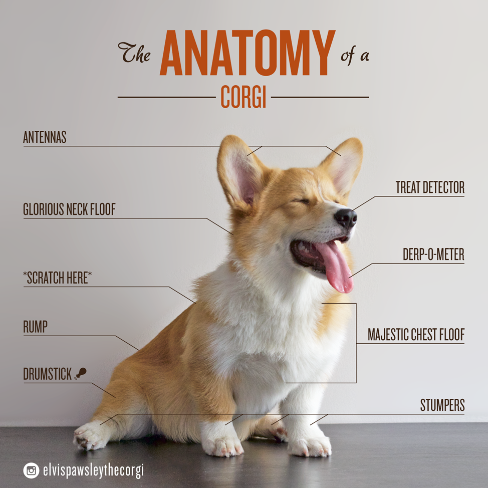 The Anatomy of a Corgi | Corgi, Anatomy and Corgis