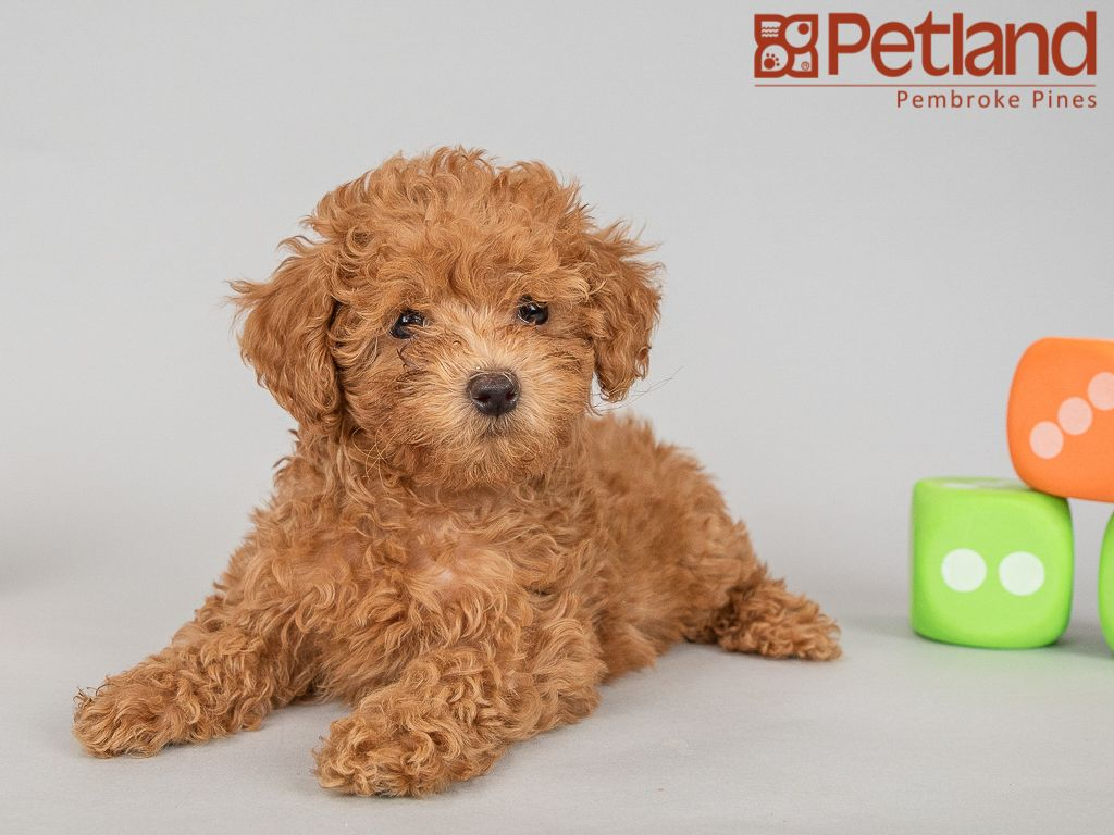 Petland Florida Has Poodle Puppies For Sale Interested In Finding