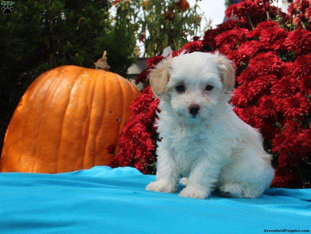 Reba Maltipoo Puppy For Sale in Pennsylvania Maltipoo