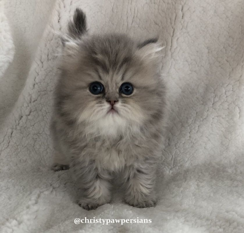 Doll Face Persian Kittens For Sale Christypaw Persians Persian Cat Doll Face Persian Kittens Persian Kittens For Sale
